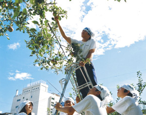 地元中学生たちがりんご並木の手入れを行っている